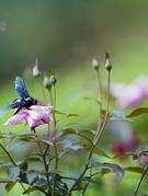 Khám phá vườn hồng nắm giữ kỉ lục Việt Nam