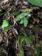Độc đáo chợ côn trùng Nà Si
