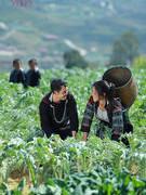 Người H'Mông làm giàu từ cây actiso