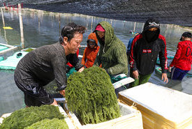 Rong nho làm thay đổi cuộc sống người dân Ninh Hải