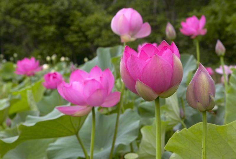 Kết quả hình ảnh cho hình ảnh hoa sen đẹp