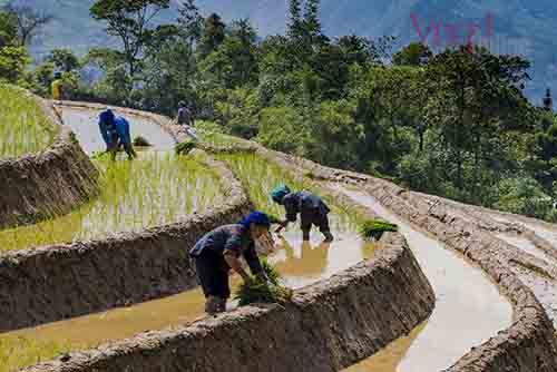 Canh tác trên ruộng bậc thang của người Hà Nhì